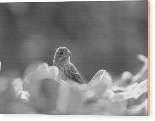 Female House Finch Perched In Black And White Wood Print