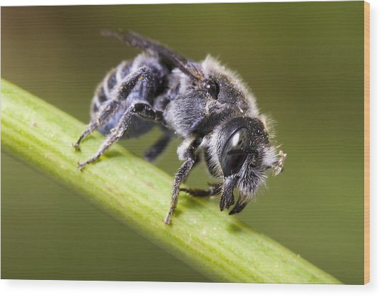 Female Megachilid Bee Wood Print by Andre Goncalves
