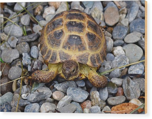 Female Russian Tortoise Wood Print