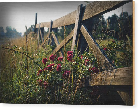 Fence And Roses Wood Print by Dave Chafin