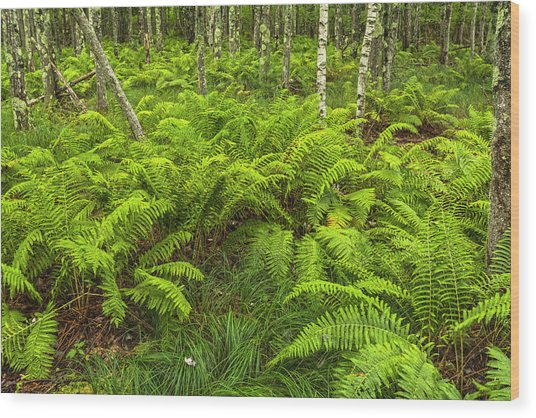 Ferns And Birch In Soft Light Wood Print