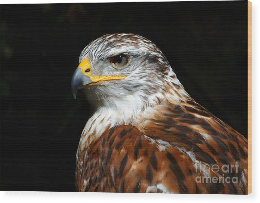 Ferruginous Hawk Portrait Wood Print