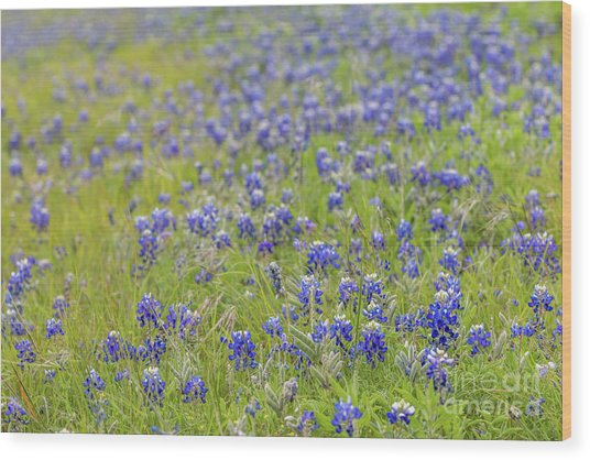 Field Of Blue Bonnet Flowers Wood Print