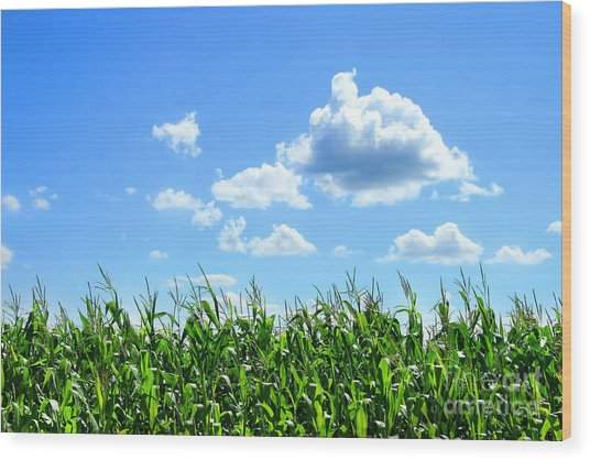 Field Of Corn In August Wood Print