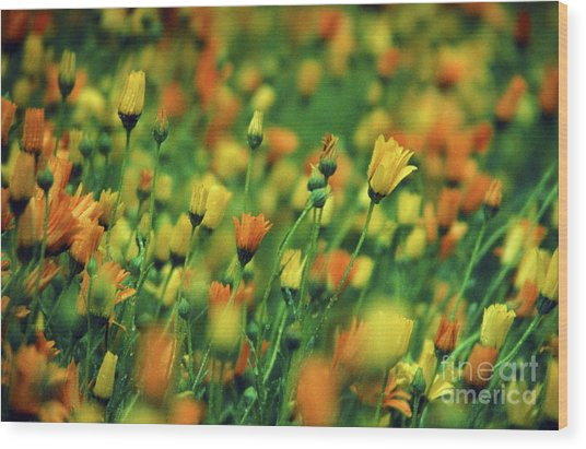 Field Of Orange And Yellow Daisies Wood Print