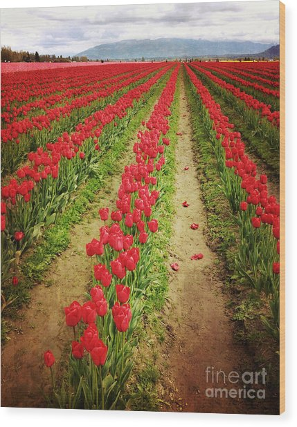 Field Of Red Tulips With Drama Wood Print