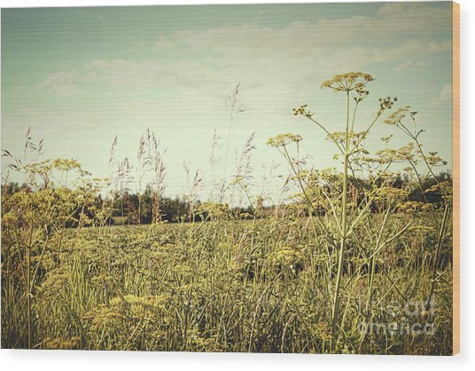 Field Of Wild Dill In The Afternoon Sun  Wood Print
