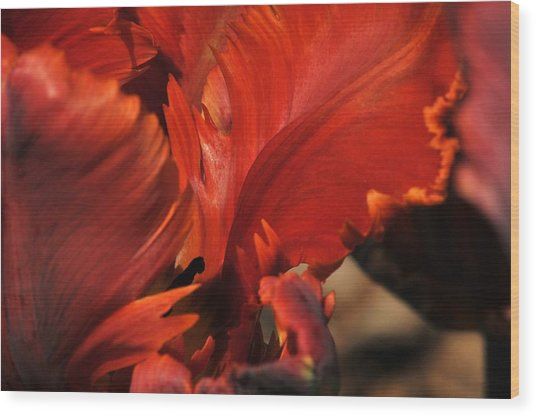 Fiery Tulip Wood Print by Jennifer Englehardt