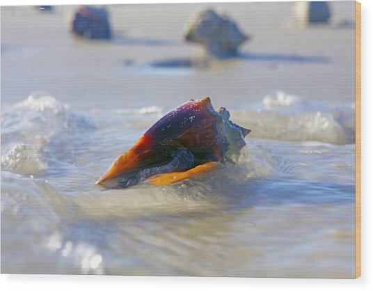 Fighting Conch On Beach Wood Print