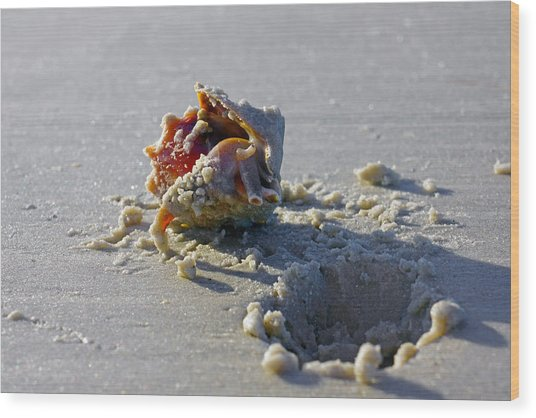 Fighting Conch On The Beach Wood Print