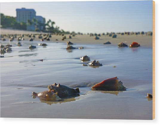 Fighting Conchs On The Beach In Naples, Fl Wood Print