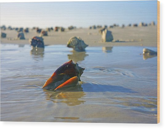 Fighting Conchs On The Sandbar Wood Print