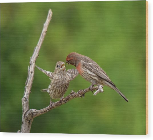Finch Feeding Time I Wood Print