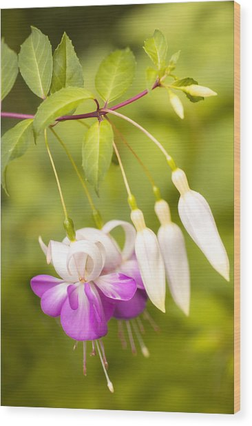 Finding Fuchsia Wood Print