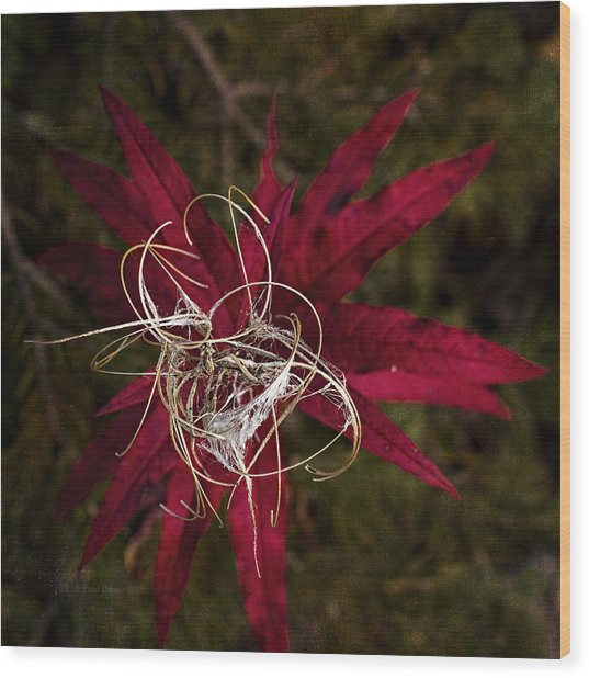 Wood Print featuring the photograph Fireweed Seed by Fred Denner