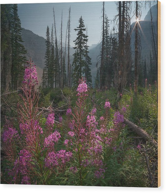 Fireweed Sunrise // Bob Marshall Wilderness  Wood Print