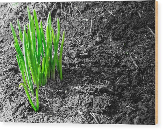 First Green Shoots Of Spring And Dirt Wood Print