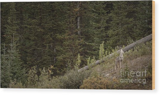 Wood Print featuring the photograph First Howl by Brad Allen Fine Art