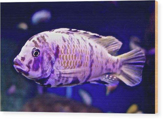 Calico Goldfish Wood Print