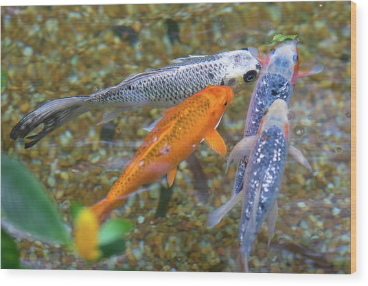 Wood Print featuring the photograph Fish Fighting For Food by Raphael Lopez