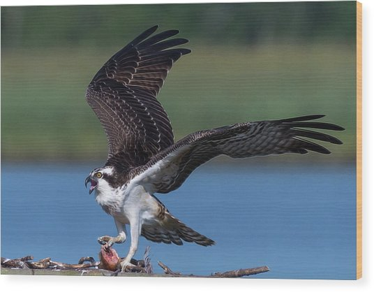 Wood Print featuring the photograph Fish For The Osprey by Cindy Lark Hartman