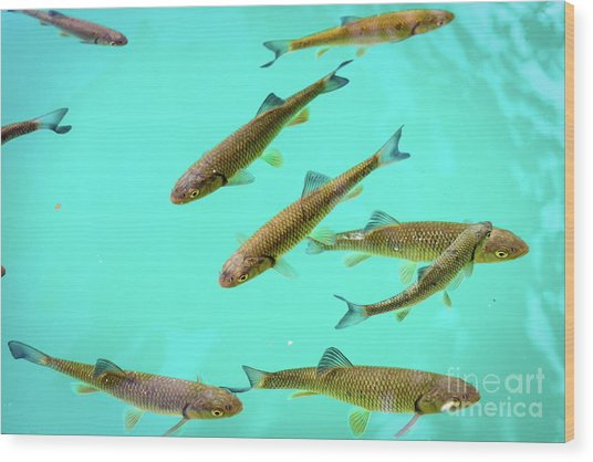 Fish School In Turquoise Lake - Plitvice Lakes National Park, Croatia Wood Print