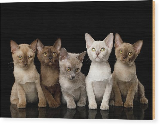 Five Burmese Kittens Wood Print