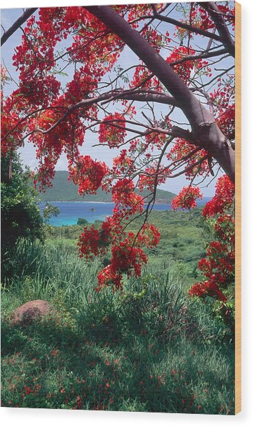 Flamboyan Tree Wood Print by George Oze