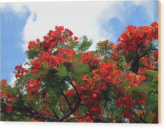 Flamboyant Red Flowering Tree Wood Print by Lorrie Morrison
