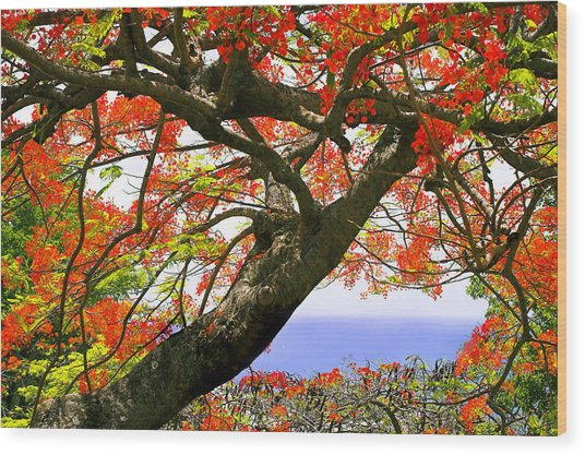 Flamboyant Trees- St Lucia Wood Print