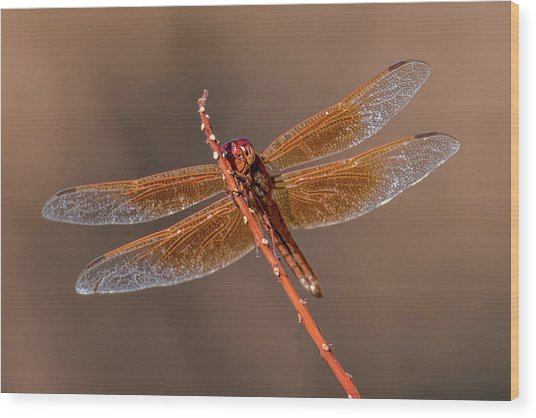 Wood Print featuring the photograph Flame Skimmer Close Up by Dan McManus