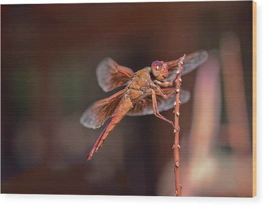 Wood Print featuring the photograph Flame Skimmer by Dan McManus