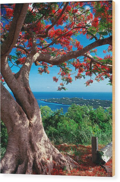 Flame Tree St Thomas Wood Print