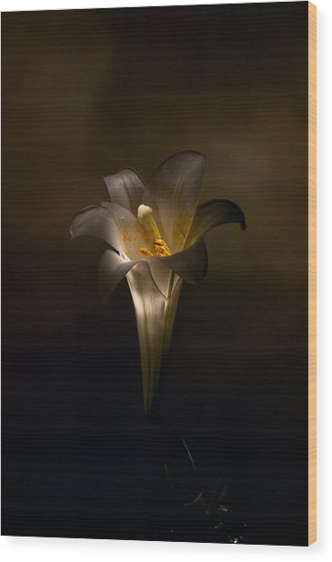 Flashlight Series Easter Lily 5 Wood Print