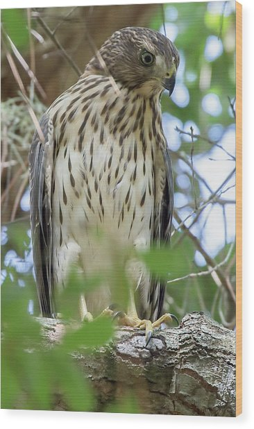 Fledgling Red-shouldered Hawk 2 Wood Print