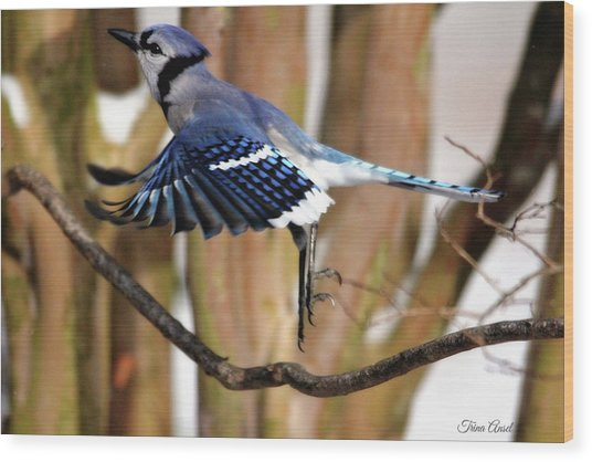 Flight Of The Blue Jay Wood Print