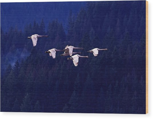 Flight Of The Swans Wood Print by Sharon Talson