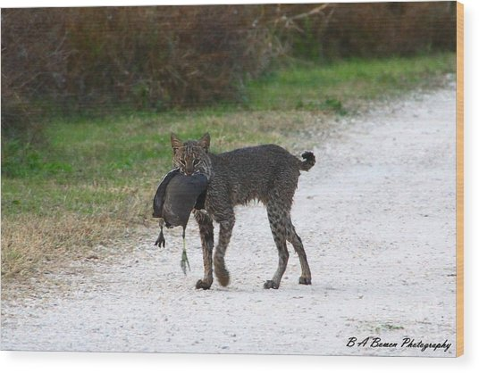 Florida Bobcat Catches An Evening Snack Wood Print
