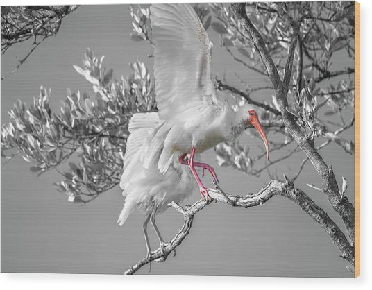 Florida Keys White Ibis Wood Print