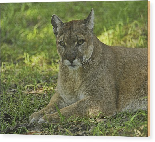 Florida Panther Wood Print by Keith Lovejoy