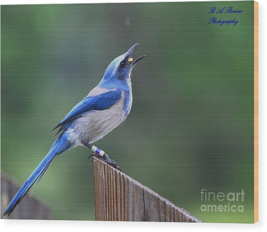 Florida Scrub Jay Eating Wood Print