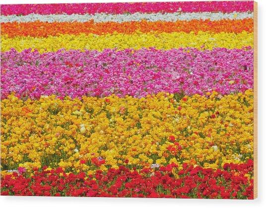 Flower Fields Carlsbad Ca Giant Ranunculus Wood Print