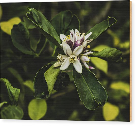 Flower Of The Lemon Tree Wood Print