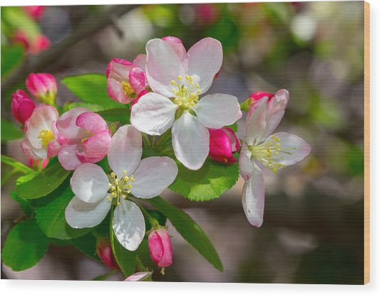 Flowering Cherry Tree Blossoms Wood Print