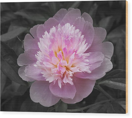 Flowering Spring Peony In Pink And Grey Wood Print by Garth Glazier