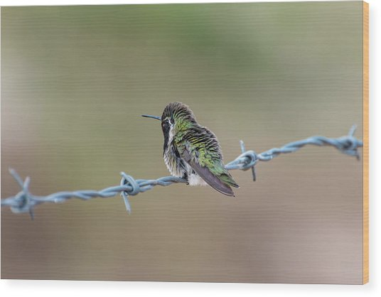 Fluffy Hummingbird Wood Print