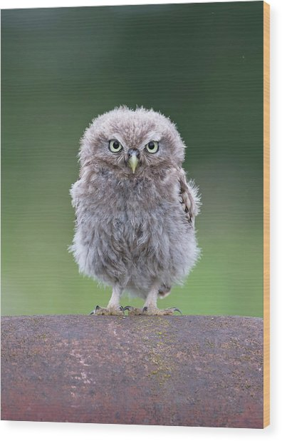 Fluffy Little Owl Owlet Wood Print