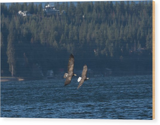 Flying Bald Eagles Wood Print
