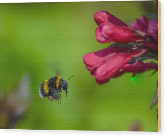 Flying Bumblebee Wood Print