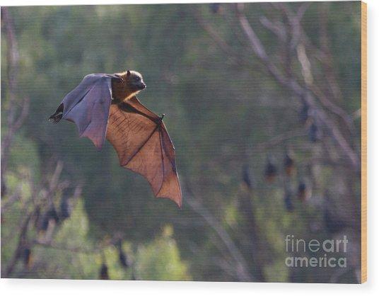 Flying Fox In Mid Air Wood Print